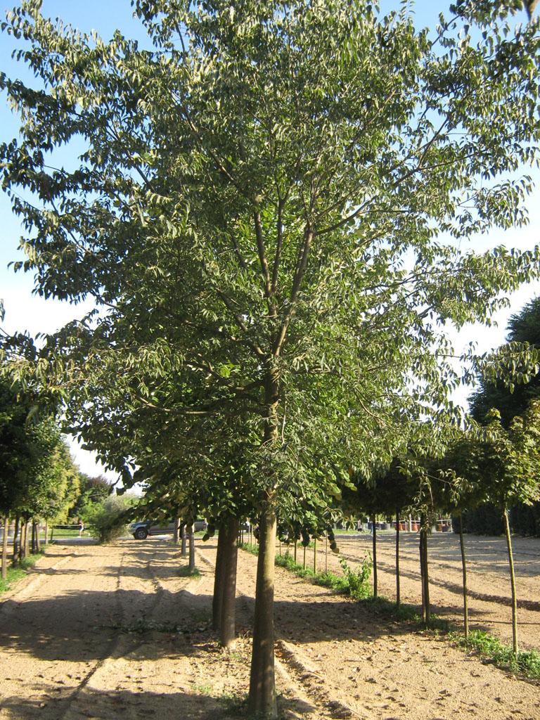 Prezzi Alberi Da Giardino alberi da giardino: vendita e consegna a padova